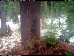 A trail camera captured this image in 2017 in Washington's Gifford Pinchot National Forest. It's where fishers had been reintroduced from Canada two years earlier. The image has been digitally enhanced to show a female fisher carrying her young near a nesting cavity in the tree trunk.
