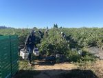 a woman carries three large buckets filled with blueberries in a field while other workers pick berries in the background.