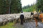 Domesicated sheep grazing on allotments in the Northwest, like these shown in this file photo, can pass on a potentially deadly bacteria infection to wild bighorn sheep in central Washington.