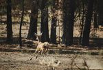 During a recent scouting mission to view the damage done by the Bootleg Fire, members of the Klamath Tribes spotted deer in burned areas, proof that life remains.