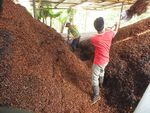 Workers on a Peruvian coffee farm shovel coffee fruit in this file photo from June 2013.