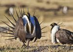 A male greater sage grouse struts its stuff on Bureau of Land Management land in this April 21, 2012, photo.