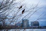 Crows descend upon Willamette Park in Southwest Portland, Oregon, Thursday, Jan. 3, 2019.