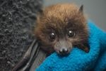 """""""Normally when you're hand-raising an animal, you have to make sure it's upright, so it doesn't aspirate,"""" explained Oregon Zoo animal curator Amy Cutting. """"With bats, you have to make sure they're upside down so they don't aspirate. So it is a little bit different from other species."""""""