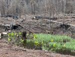 Large trees were felled into a wetland in the area off Highway 22 that burned in the Beachie Creek fire.