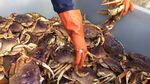 Dungeness crab being gathered for market.