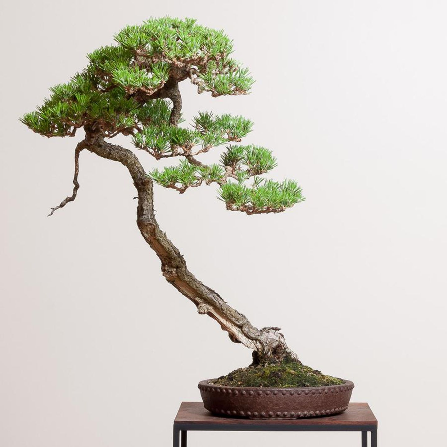 Slide Show Bonsai Mirai Pioneers A New High Design Style Of Distinctly American Bonsai Opb