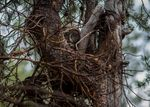 A Great Grey Owl on her nest, high in a tree.