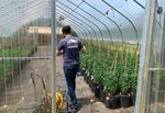 A person walks through a greenhouse filled with cannabis plants