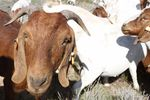 The Campbells hope to demonstrate that raising South African Boer goats can be a profitable and eco-friendly range option.