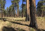 Green needles top pine trees whose trunks are charred by a former fire in a dry forest landscape.