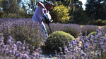 Geronimo Hurtado has mastered the tricky task of pruning and harvesting lavender in one fell swoop