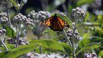 A monarch butterfly on milkweed in bloom.