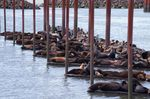 Sea lions on the docks at Astoria's East Mooring Basin.