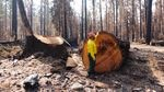 OSU fire researcher Chris Dunn examines a several-hundred-year-old Douglas fir that stood at the entrance of Delta Campground on the McKenzie River.  The tree was cut as a hazard tree after the Holiday Farm Fire.