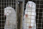 In this Dec. 6, 2012, file photo, minks look out of a cage at a fur farm in the village of Litusovo, northeast of Minsk, Belarus. The coronavirus has been found in mink in both Europe and the United State, including in Oregon.
