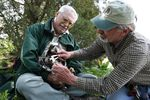 Bud Alford, retired U.S. Forest Service biologist holds an eaglet while Michael Whitfield, Greater Yellowstone Project principal researcher, measures the bird's beak.