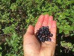 Professor Bernadine Strik holds a handful of Vaccinium membranaceum, commonly called Mountain Huckleberries.