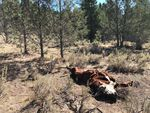 The crumpled carcass of a once vibrant bull lays on Forest Service ground. It was killed along with several others in a strange way at Silvies Valley Ranch in eastern Oregon, and detectives have few leads.