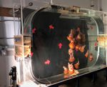 Pacific sea nettles swirl in a kreisel tank in the lab at the Oregon Coast Aquarium.