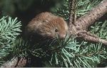 A red tree vole sits in a conifer tree.