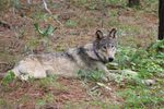 FILE - This February 2021 file photo released by California Department of Fish and Wildlife, shows a gray wolf (OR-93), near Yosemite, Calif., shared by the state's Department of Fish and Wildlife. The endangered gray wolf that traveled at least 1,000 miles from Oregon to California's Central Coast before his tracking collar stopped giving signals in the spring may still be alive and roaming in Ventura County. The California Department of Fish and Wildlife said Friday, Oct. 1, that it received three reports last month matching the description of OR-93 in the northern part of the county, and officials were able to confirm wolf tracks in the vicinity.