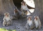About a dozen of the 175 Japanese macaque monkeys at the Oregon National Primate Center have been found to suffer from Batten disease.