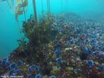 A barren kelp forest off the coast of Carmel, Calif with hundreds of sea urchin.