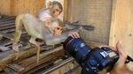 Macaques check out a camera in Galta Ji Temple in Jaipur, India. Monkeys have been known to sneak into swimming pools, courts and even the halls of India's parliament. One attorney told author Mary Roach about a macaque that infiltrated the medical institute and began pulling out patient IVs.