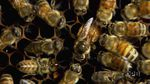 Honey bees have been observed kicking sick bees out of the hive. Scientists consider this a form of social distancing called exclusion.