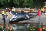 The 18-year-old male southern resident killer whale, J34, stranded near Sechelt, British Columbia on December 21, 2016. Postmortem examination suggested he died from trauma consistent with vessel strike.