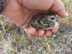 Biologists attach a tiny transmitter to a baby lark to see where it goes in the first weeks of life.