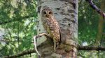 Barred owls from the east have moved in and taken over spotted owl habitat in the western forests of Oregon, and are now pushing spotted owls closer and closer to extinction.