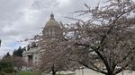 A cherry tree blooms in the foreground, while the domed roof of the Washington state Capitol in Olympia rises above the tree's branches in the background.