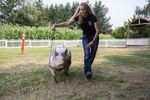 Erika Bergstrom uses a thin whip to navigate her pig Louie around a field. At the county fair, the pair will compete in market hog and showmanship competitions, both will require Bergstrom to maneuver the hog around a ring.