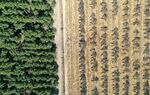As farmers in California's Central Valley face drought restrictions, some are removing almond trees to reduce water use, especially aging orchards.