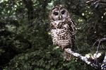 This June 1995 file photo shows a Northern Spotted owl taken in Point Reyes, Calif.