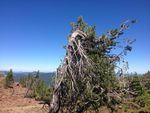 Whitebark pines thrive in rugged mountain in environments.