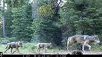 FILE - This June 29, 2017, file remote camera image provided by the U.S. Forest Service shows a female gray wolf and two of the three pups born in 2017 in the wilds of Lassen National Forest in Northern California. The Trump administration plans to lift endangered species protections for gray wolves across most of the nation by the end of 2020, the director of the U.S. Fish and Wildlife Service said Monday, Aug. 31, 2020.